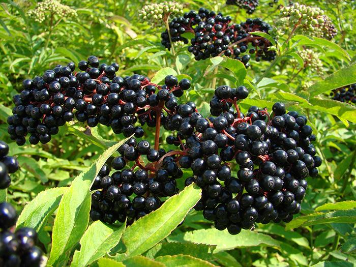 Frontier Organic Whole Elderberries