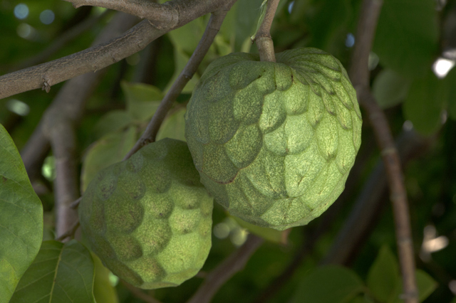 Weird fruit - Cherimoya