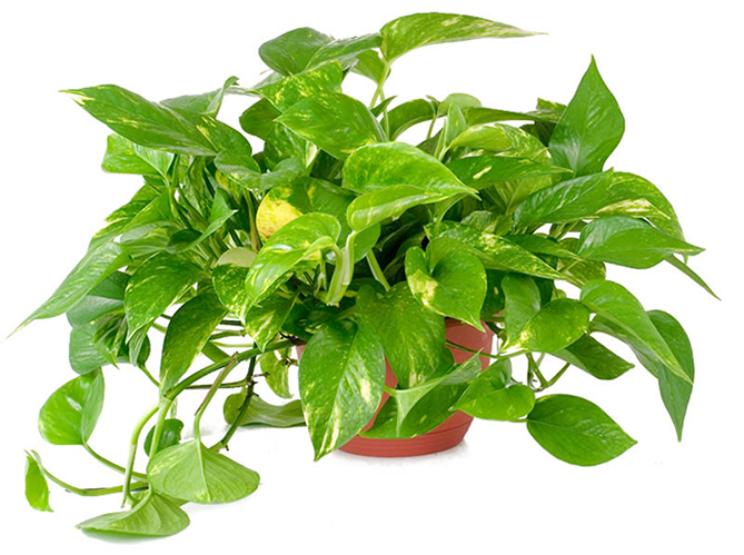 Air purifying plant - Golden Pothos - Epipremnum aureum