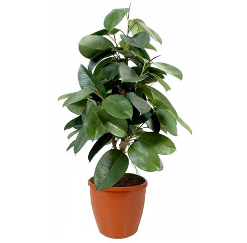 air purifying plant rubber fig ficus elastica