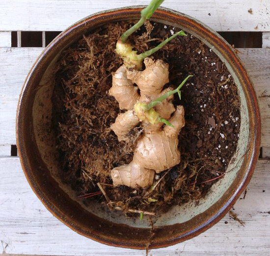 How to regrow ginger