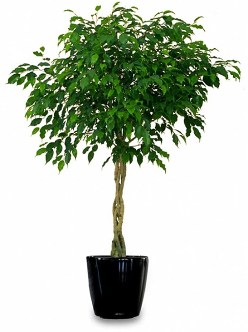 Improve Indoor Air With Weeping Fig1