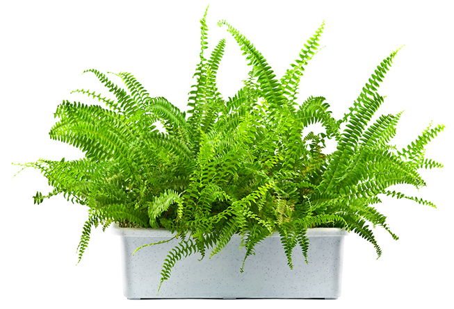 Natural air purifier - Boston Fern