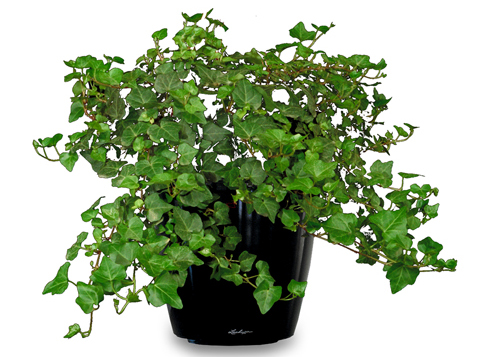 Natural air purifier - English Ivy