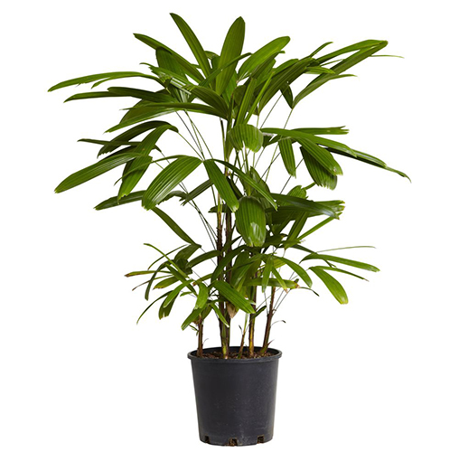 Natural air purifier - Lady Palm