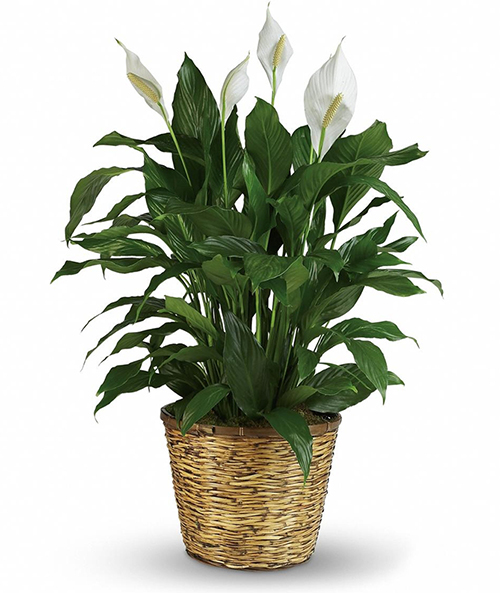 Peace Lily - Spathiphyllum sp
