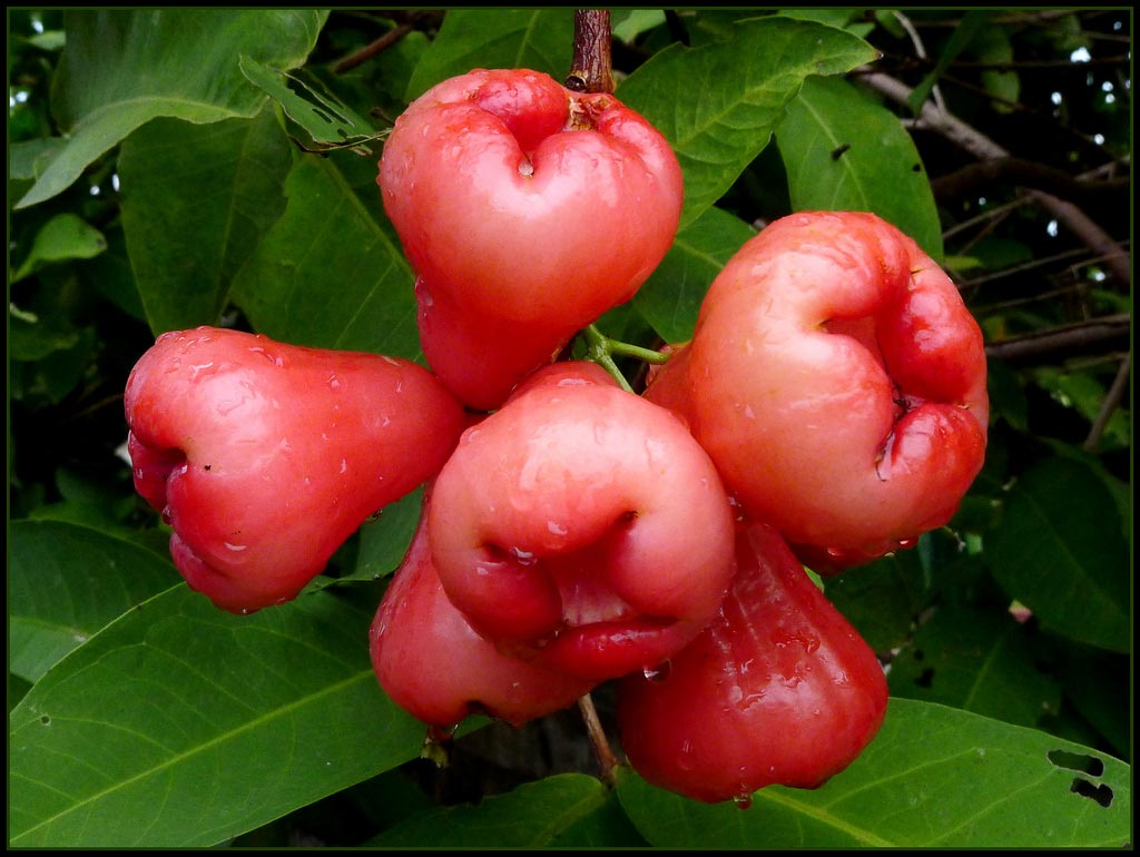 Rose Apples1