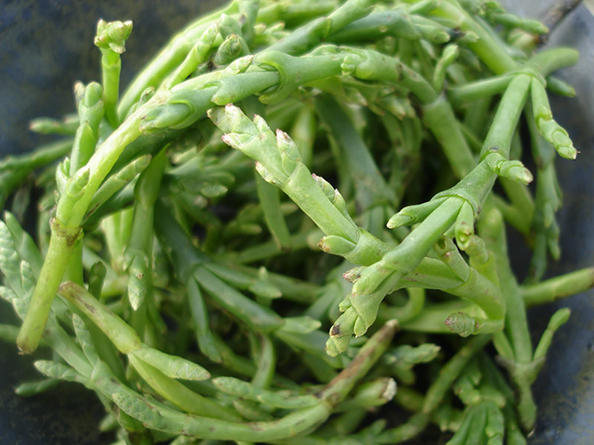 Weird vegetable Samphire a.k.a. Sea asparagus