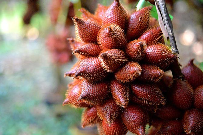 World's Weirdest Foods - Salak Fruit1