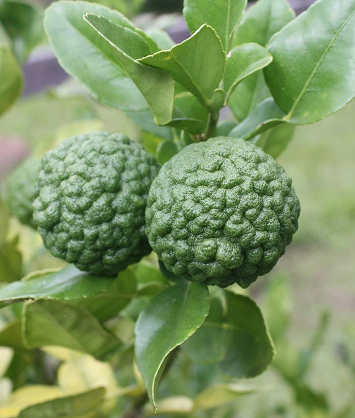 World's-Weirdest-Fruits-Makrut-Lime1