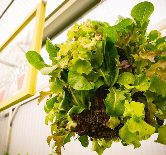 How to Grow a Moss Lettuce Basket