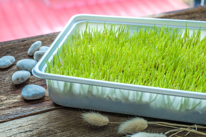 Sprouting wheatgrass