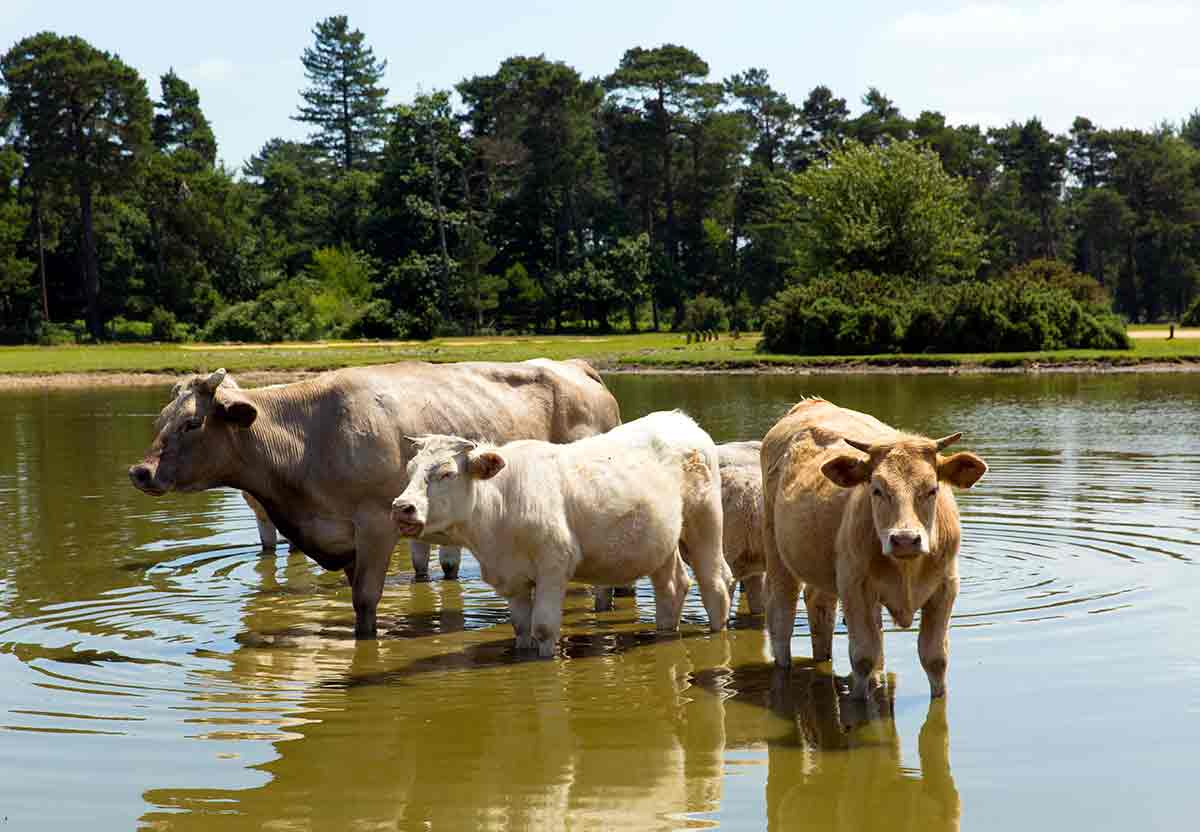 organic food helps for the better health of cattle