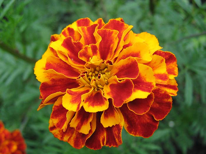 Fresh Orange-Yellow Marigold Flower1