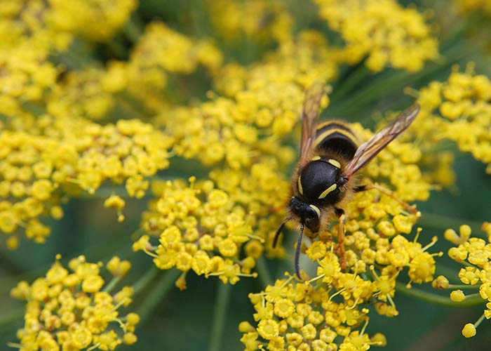 Wasp On Fennel Flower1