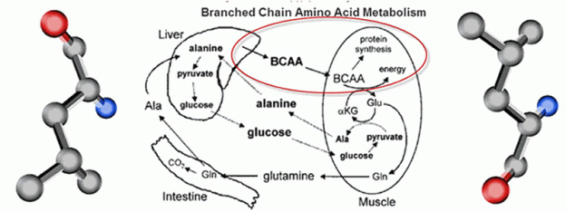 BCAAs Metabolism1