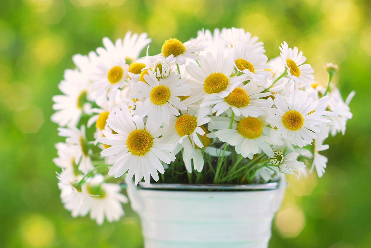 Fresh chamomile flowers1