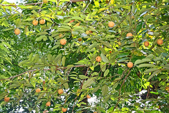 Nutmeg Tree And Its Fruits1