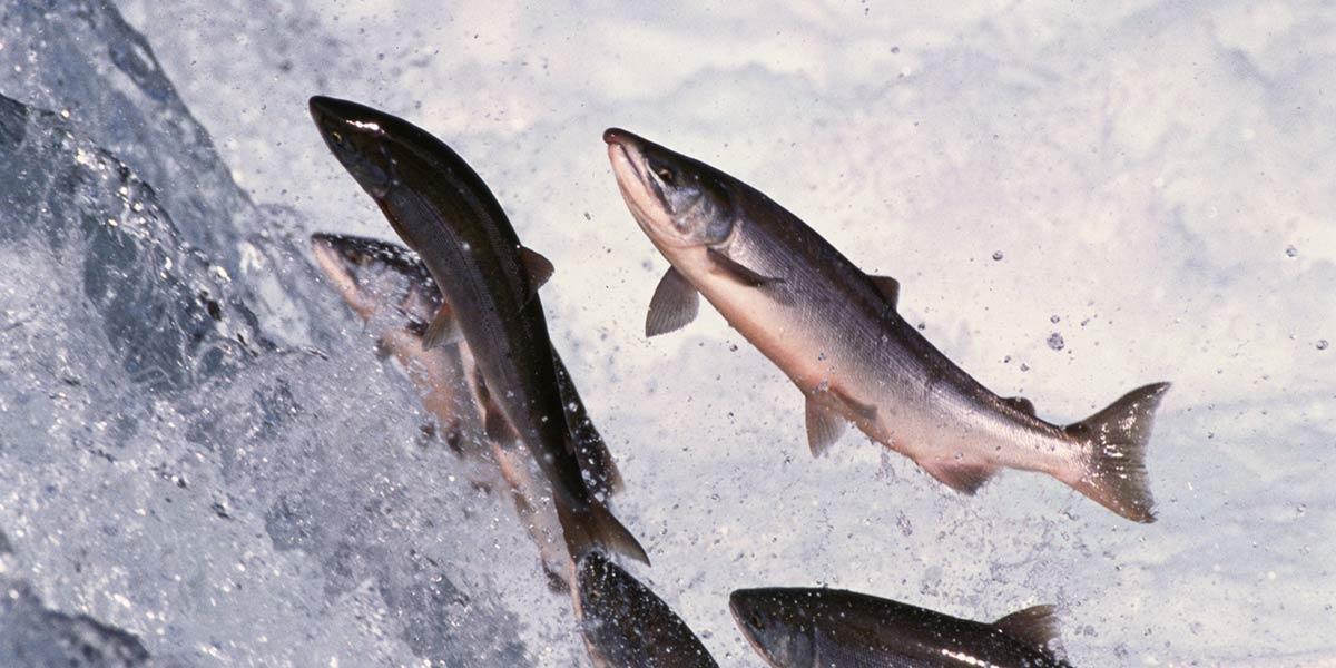 Wild Caught Salmon1