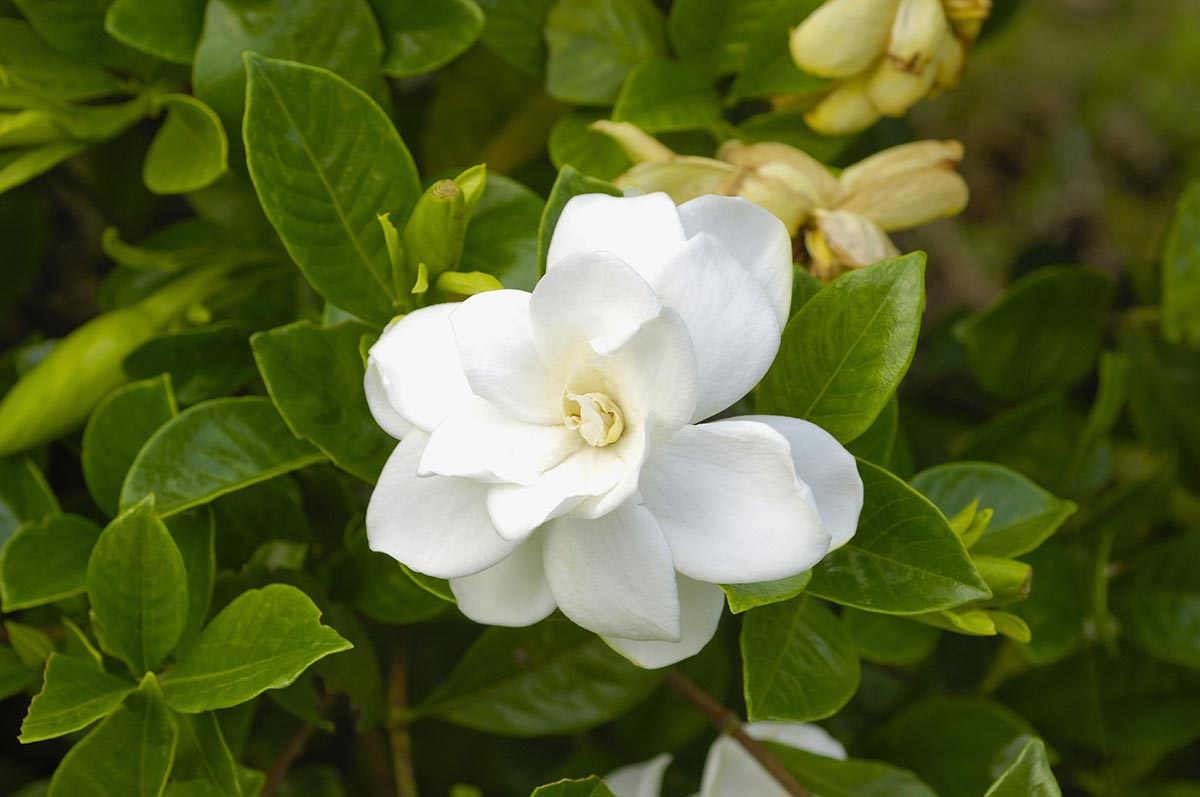 Gardenia for promoting better sleep1