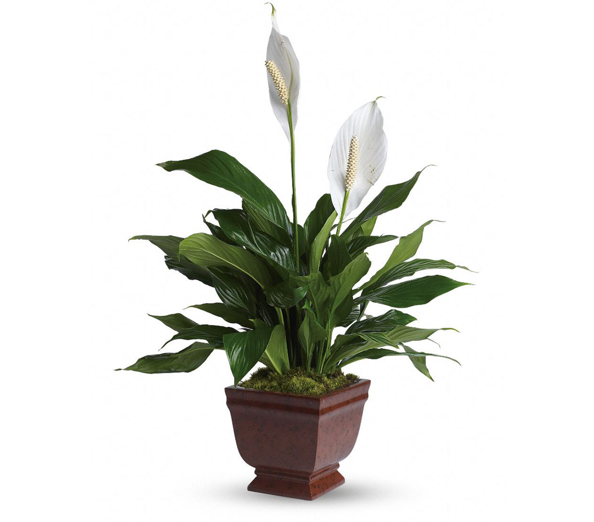 Peace Lily promotes better sleep1
