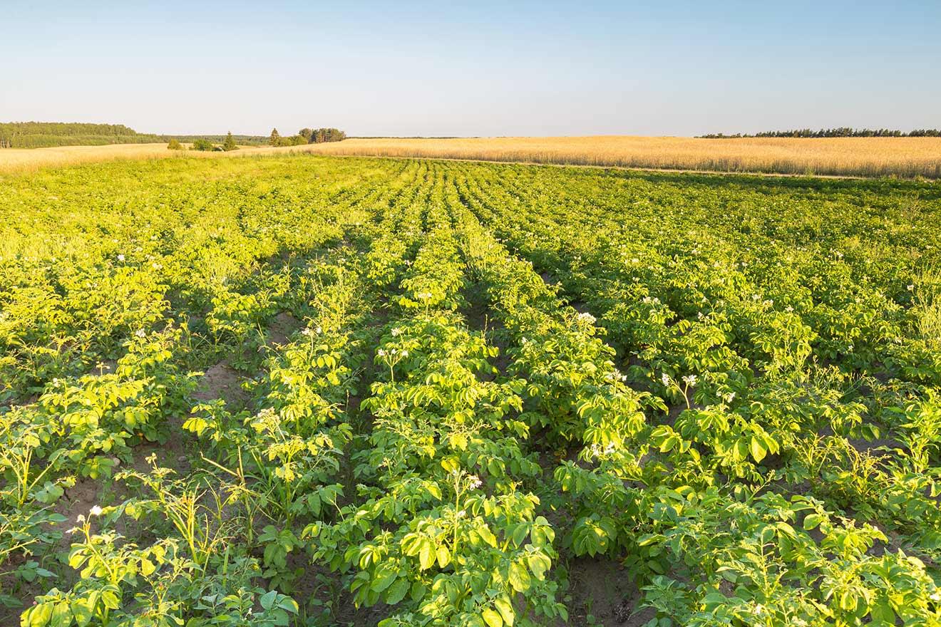 Organic Potato Garden`