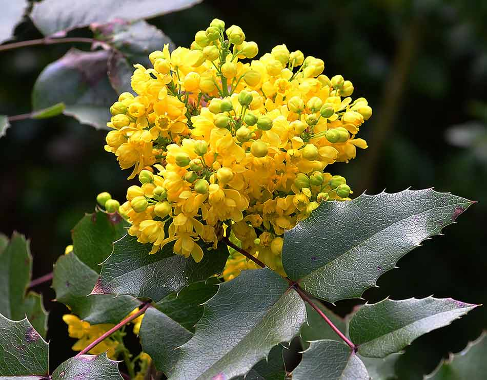 Best Liver Cleansing Herbs - Oregon Grape Root